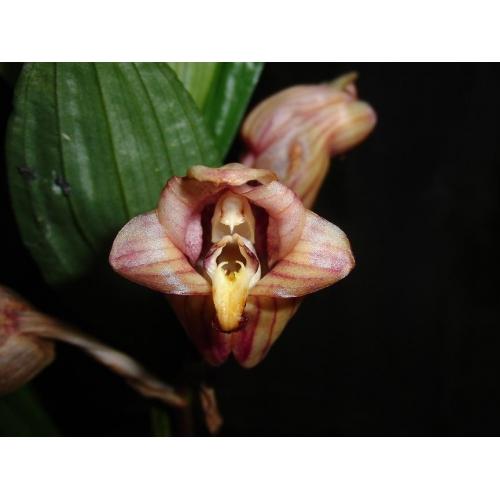Acanthepipium boernense