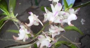 Aerides odorata java