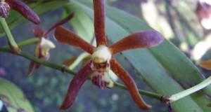 Armodorum sulingii